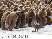 King penguins (Aptenodytes patagonicus) gather to defend themselves against a nearby Brown skua (Stercorarius antarcticus). Fortuna Bay, South Georgia Island. Стоковое фото, фотограф Ben Cranke / Nature Picture Library / Фотобанк Лори