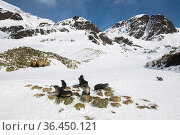 Antarctic fur seals (Arctocephalus gazella) resting on mounds of tussock grass surrounded by snow, Fortuna Bay, South Georgia Island. Стоковое фото, фотограф Ben Cranke / Nature Picture Library / Фотобанк Лори