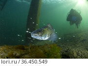 Scuba diver with male Zander or Pikeperch (Stizostedion lucioperca... Стоковое фото, фотограф Franco Banfi / age Fotostock / Фотобанк Лори