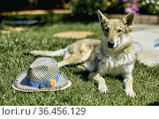 Portrait of a wolfdog lying outdoor on the grass in the garden of... Стоковое фото, фотограф Mikel Bilbao / age Fotostock / Фотобанк Лори