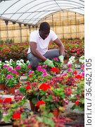 African american florist engaged in cultivation of Catharanthus roseus. Стоковое фото, фотограф Яков Филимонов / Фотобанк Лори