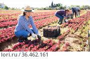 Young Hispanic female harvesting red lettuce. Стоковое фото, фотограф Яков Филимонов / Фотобанк Лори