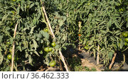 Closeup of green tomatoes ripening on supporting stakes on farm field on sunny summer day. Organic vegetables cultivation. Стоковое видео, видеограф Яков Филимонов / Фотобанк Лори