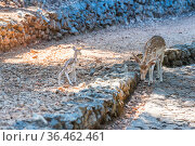 sika deer with little fawn in the zoo. Стоковое фото, фотограф Константин Лабунский / Фотобанк Лори