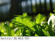 Burdock thickets in the garden in the village. Стоковое фото, фотограф Марина Володько / Фотобанк Лори