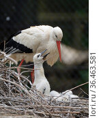 White stork (Ciconia ciconia) chick begging from a parent on its nest. In captive breeding colony raising young birds for UK White Stork reintroduction... Стоковое фото, фотограф Nick Upton / Nature Picture Library / Фотобанк Лори