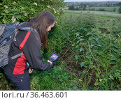 Lucy Bearman-Brown using a thermal imager to confirm there is a Hedgehog (Erinaceus europaeus) hidden in a nest where a sniffer dog has indicated it has... Стоковое фото, фотограф Nick Upton / Nature Picture Library / Фотобанк Лори
