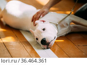 The Dogo Argentino also known as the Argentine Mastiff is a large... Стоковое фото, фотограф Ryhor Bruyeu / easy Fotostock / Фотобанк Лори