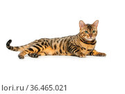 Portrait of beautiful bengal cat isolated lying over white background... Стоковое фото, фотограф Zoonar.com/Svetlana Mandrikova (SVETOGRAPHY) / easy Fotostock / Фотобанк Лори
