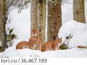 Luchs (Lynx lynx), Mutter mit zwei Jungtieren, im Winter im Tier-Freigelände... Стоковое фото, фотограф Zoonar.com/Dirk Rueter / easy Fotostock / Фотобанк Лори