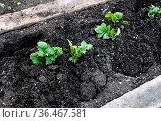 Freshly hilled potato plants in the garden. Стоковое фото, фотограф Zoonar.com/Amelia Martin / easy Fotostock / Фотобанк Лори