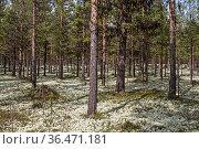 Die echte Rentierflechte, auch Cladonia rangiferina genannt bedeckt... Стоковое фото, фотограф Zoonar.com/Eder Christa / easy Fotostock / Фотобанк Лори