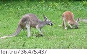 Кенгуру ест траву. Животные пасутся на поляне. Стоковое видео, видеограф Мiлана Х / Фотобанк Лори