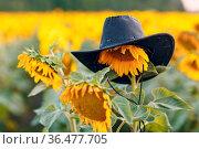 Farmer hat on flower in a sunflower field. Стоковое фото, фотограф Zoonar.com/Max / easy Fotostock / Фотобанк Лори