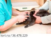 Veterinarian checks the ears of the cat. Стоковое фото, фотограф Zoonar.com/Max / easy Fotostock / Фотобанк Лори