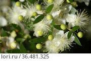 Flora of Gran Canaria - Flowering Myrtus communis, common myrtle, introduced species, natural macro floral background. Стоковое фото, фотограф Tamara Kulikova / Фотобанк Лори