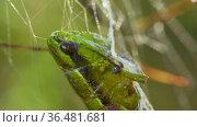Spider-caught grasshopper in web of yellow-black striped Argiope Bruennichi, macro. Стоковое видео, видеограф Dzmitry Astapkovich / Фотобанк Лори