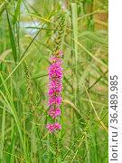 Blut-Weiderich 'Lythrum salicaria' Стоковое фото, фотограф Zoonar.com/Falke / easy Fotostock / Фотобанк Лори