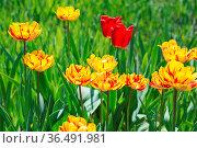 Flowers yellow tulips. Стоковое фото, фотограф Zoonar.com/OLGAMURiNA / easy Fotostock / Фотобанк Лори