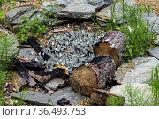 Black-veined white (Aporia crataegi) large group puddling, Altai Republic, Russia. Стоковое фото, фотограф Olga Kamenskaya / Nature Picture Library / Фотобанк Лори