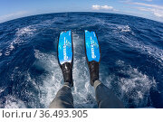 Long freediving fins used to swim with Sperm whale (Physeter macrocephalus) Dominica, Caribbean Sea, Atlantic Ocean. Стоковое фото, фотограф Franco Banfi / Nature Picture Library / Фотобанк Лори