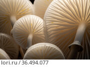 Close-up of backlit Porcelain fungus (Oudemansiella mucida)showing gills, Bolderwood, The New Forest, Hampshire, UK. October . Стоковое фото, фотограф Ross Hoddinott / Nature Picture Library / Фотобанк Лори