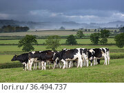 Friesian cows in field near Purse Caundle, Dorset, England, UK. August 2020. Стоковое фото, фотограф David Noton / Nature Picture Library / Фотобанк Лори