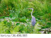 Graureiher (Ardea cinerea) an einem kleinen Teich auf Praslin, Seychellen... Стоковое фото, фотограф Zoonar.com/Dirk Rueter / easy Fotostock / Фотобанк Лори