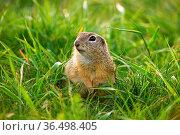 Cute european ground squirrel, spermophilus citellus, looking into... Стоковое фото, фотограф Zoonar.com/Jakub Mrocek / easy Fotostock / Фотобанк Лори