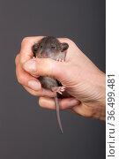 Small baby rat. Стоковое фото, фотограф Argument / Фотобанк Лори