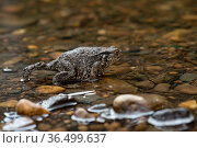 Gray european toad walking in shallow water close-up. Стоковое фото, фотограф Евгений Харитонов / Фотобанк Лори