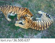 "Два тигра на траве. Вид сверху. Парк ""Тайган"", Крым. Стоковое фото, фотограф Вячеслав Палес / Фотобанк Лори"