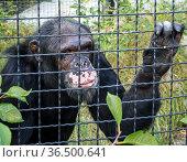 Печальный шимпанзе в одиночестве стоит у решетки вольера. Стоковое фото, фотограф Вячеслав Палес / Фотобанк Лори