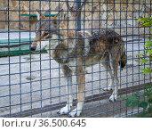 Волк в неволе за сеткой вольера. Стоковое фото, фотограф Вячеслав Палес / Фотобанк Лори