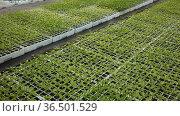Young seedlings of organic pepper growing in crates at garden store. Стоковое видео, видеограф Яков Филимонов / Фотобанк Лори