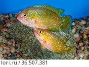 Portrait of freshwater cichlid fish (Hemichromis sp.) in aquarium. Стоковое фото, фотограф Zoonar.com/Jiri Plistil / easy Fotostock / Фотобанк Лори