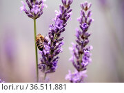 Close Up of Honeybee on Beautiful Lavender blooming in early summer... Стоковое фото, фотограф Zoonar.com/Nailia Schwarz / easy Fotostock / Фотобанк Лори