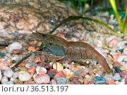 Portrait of freshwater shrimp (Macrobrachium asperulum) in aquarium. Стоковое фото, фотограф Zoonar.com/Jiri Plistil / easy Fotostock / Фотобанк Лори