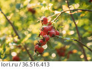 Red Ripe Berries Of Rosa Canina. Rose Hips Of Dog Rose, Is A Variable... Стоковое фото, фотограф Ryhor Bruyeu / easy Fotostock / Фотобанк Лори
