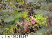 Wild animals in forest.Eurasian Lynx (lynx lynx).Der Luchs. Стоковое фото, фотограф Zoonar.com/Arvidas Saladauskas / age Fotostock / Фотобанк Лори