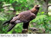 Steinadler in Wisentgehege Springe.Golden Eagle. Стоковое фото, фотограф Zoonar.com/Arvidas Saladauskas / age Fotostock / Фотобанк Лори