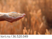 Farmer hands hold ripe wheat seeds after the harvest with copy space. Стоковое фото, фотограф Zoonar.com/Max / easy Fotostock / Фотобанк Лори