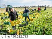 Man carrying crates with harvested celery. Стоковое фото, фотограф Яков Филимонов / Фотобанк Лори