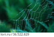 Close up of a spider in nature. Amazing nature. Close up of a spider making web. Macro photography of nature. Паук. Стоковое фото, фотограф Oleg Borunov / Фотобанк Лори