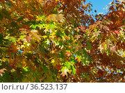 Разноцветные листья дуба красного или остролистного (лат. Quercus rubra) на ветках осенним солнечным днем. Стоковое фото, фотограф Елена Коромыслова / Фотобанк Лори
