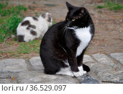 Katze, tier, haustier, portrait, hauskatze,, weiß, schwarz, weiß,... Стоковое фото, фотограф Zoonar.com/Volker Rauch / easy Fotostock / Фотобанк Лори
