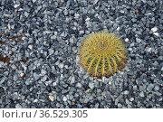 Kaktus, pflanze, sukkulent, sukkulenten, grün, rund, stachel, stacheln... Стоковое фото, фотограф Zoonar.com/Volker Rauch / easy Fotostock / Фотобанк Лори