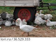 Gänse, gans, hausgans, hausgänse, nutztier, nutztiere, tier, tiere... Стоковое фото, фотограф Zoonar.com/Volker Rauch / easy Fotostock / Фотобанк Лори