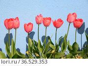 Tulpen, Tulpe, blume, blumen, reihe, hauswand, frühling, frühjahr... Стоковое фото, фотограф Zoonar.com/Volker Rauch / easy Fotostock / Фотобанк Лори