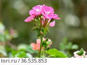 Ornamental plant Pelargonium (Latin - Pelargonium) Стоковое фото, фотограф Irina Opachevsky / Фотобанк Лори
